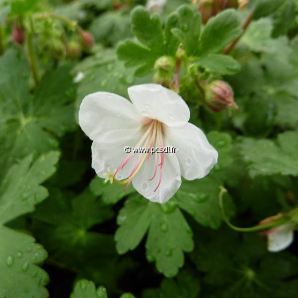 Geranium macrorrhizum \'Album\' C3L