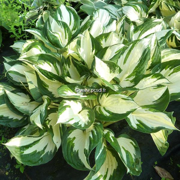 Hosta \'Fire & Ice\' C3L