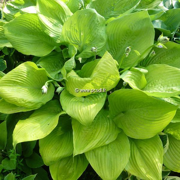 Hosta \'Sum & Substance\' C3L