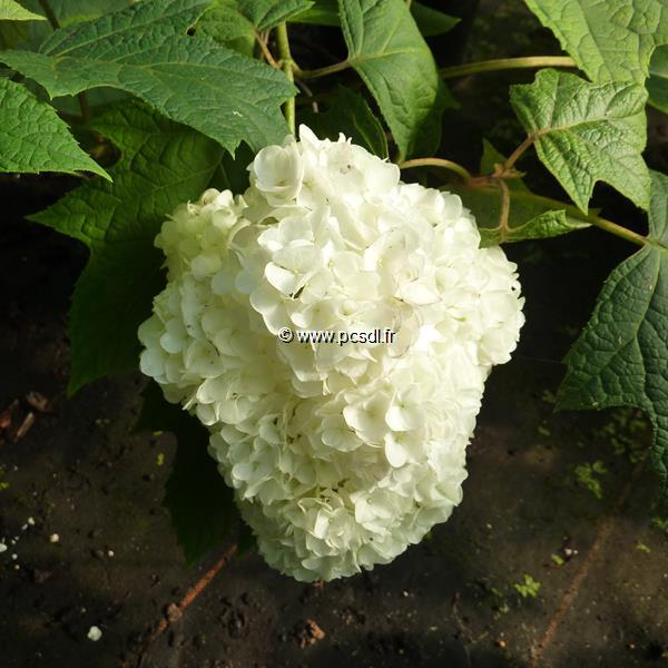Hydrangea quercifolia \'Harmony\' 30/40 C3L