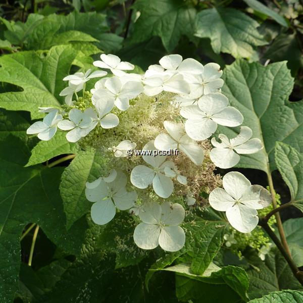 Hydrangea quercifolia \'Pee Wee\' C15L 40/60