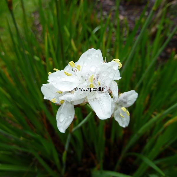 Libertia grandiflora C3L