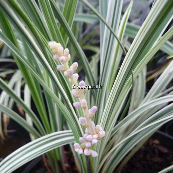 Liriope spicata \'Silver Dragon\' C3L