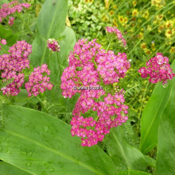 Achillea millifolium \'Cerise Queen\' C3L
