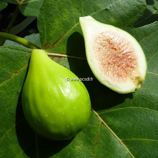 Ficus carica \'Dalmatie\' C4L 30/40