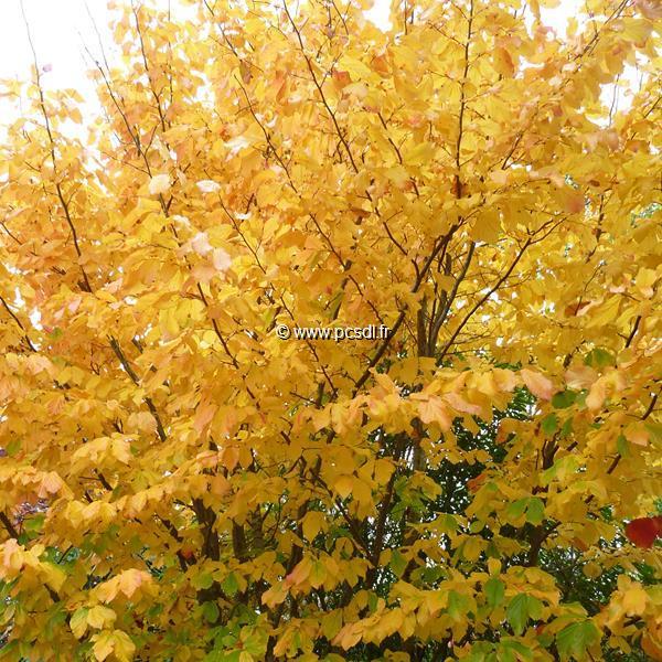 Parrotia persica \'Vanessa\' C10L 175/200