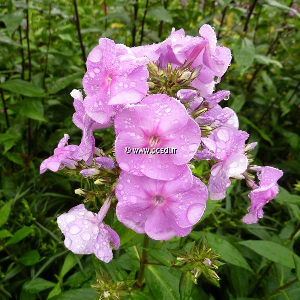 Phlox maculata \'Alpha\' C3L