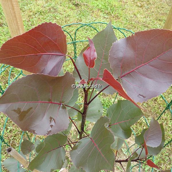 Populus deltoides \'Purple Tower\' ® C4L 150/175
