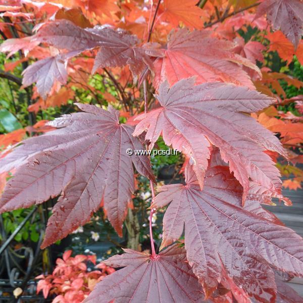 Acer japonicum \'Vitifolium\' C5L 40/60