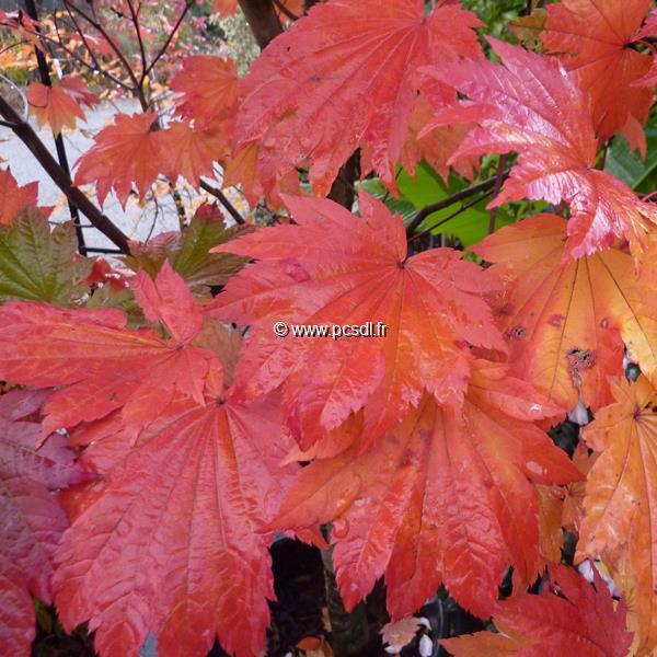 Acer japonicum \'Vitifolium\'