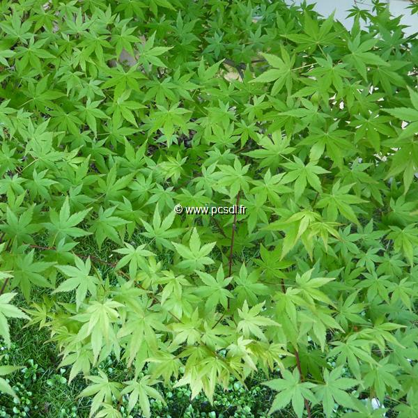 Acer palmatum C4L 40/60