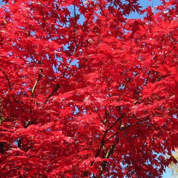 Acer palmatum \'Atropurpureum\'