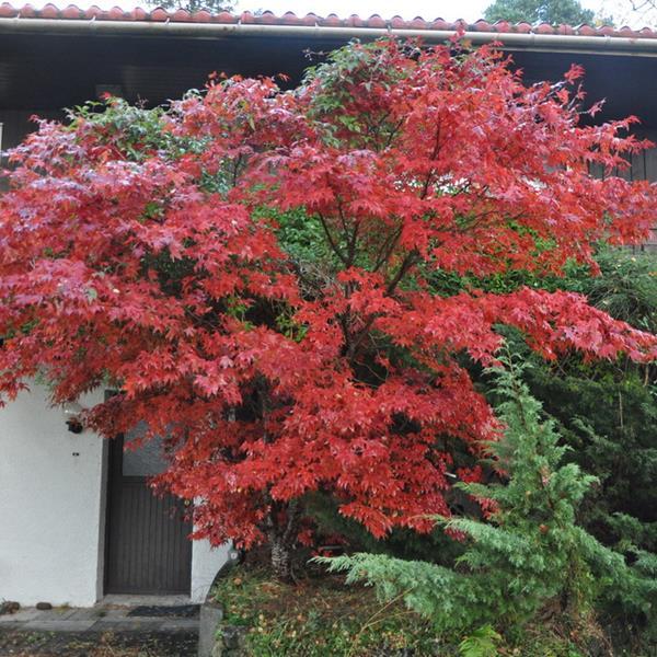 Acer palmatum \'Atropurpureum\' C7L 100/125