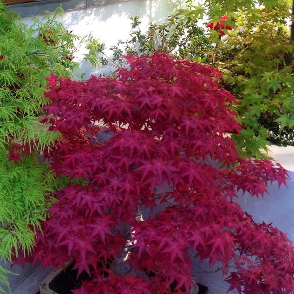 Acer palmatum \'Deshojo\' C15L 80/100