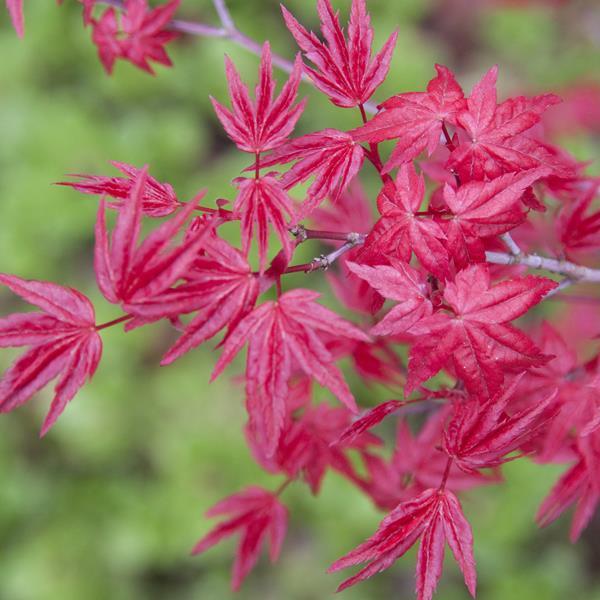 Acer palmatum \'Deshojo\' C4L 30/40