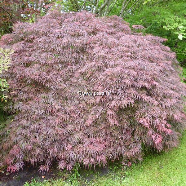 Acer palmatum \'Dissectum Garnet\' tige