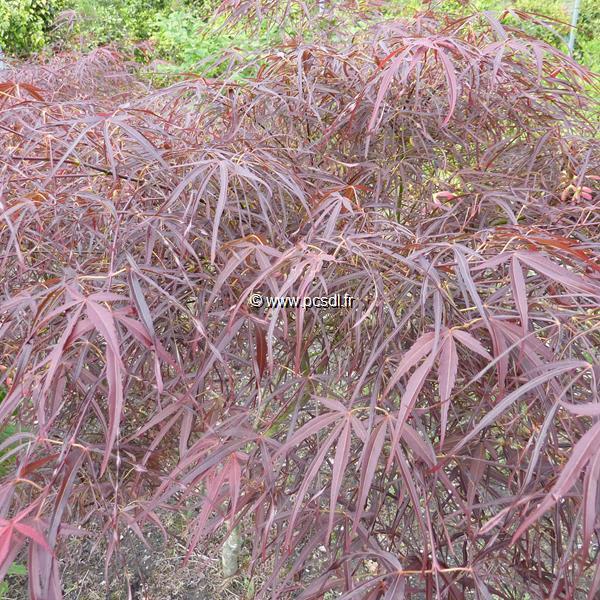 Acer palmatum \'Red Pygmy\' C30L 150/175