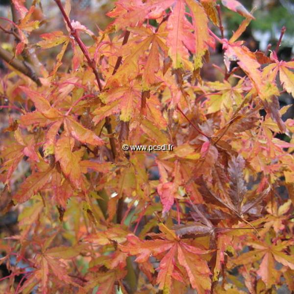 Acer palmatum \'Wabito\' C30L 150/175