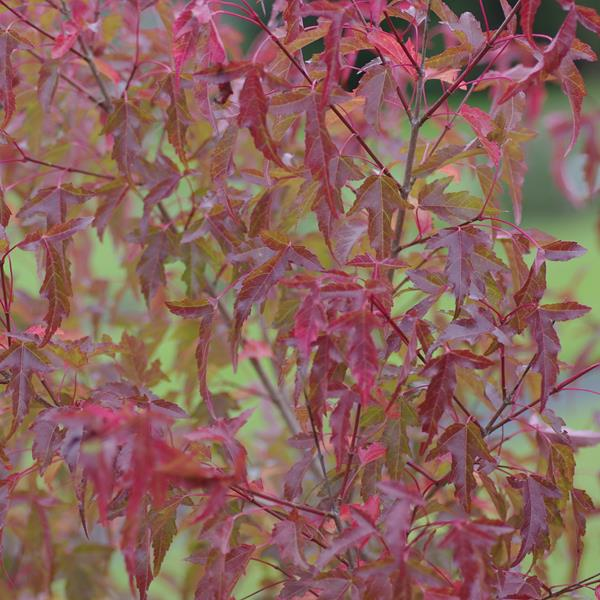 Acer tataricum ssp. ginnala C10L 175/200