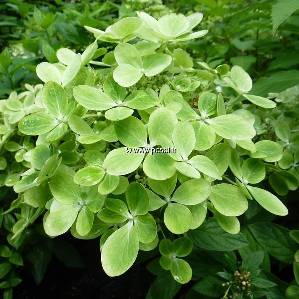 Hydrangea paniculata Pastel Green (2)