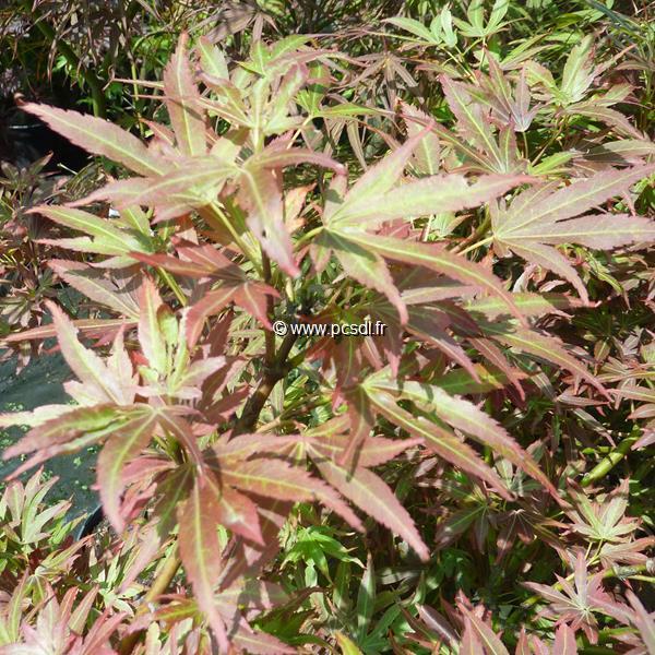 Acer palmatum \'Aratama\'