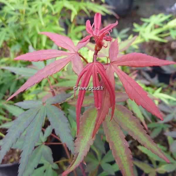 Acer palmatum Brandt's Dwarf (2)