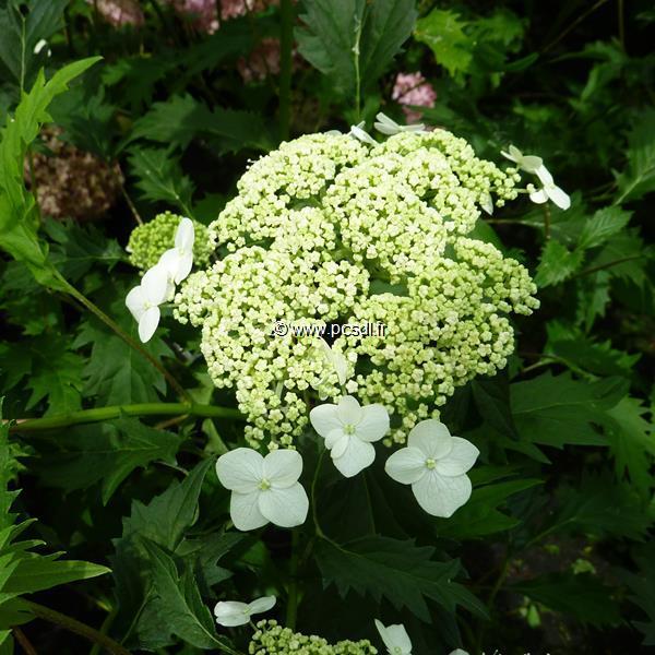 Hydrangea arborescens \'Emerald Lace\' C4L 30/40