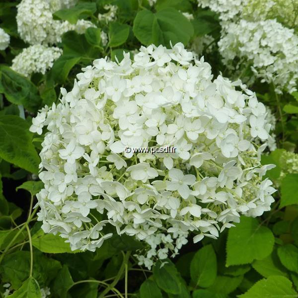 Hydrangea arborescens \'Puffed Green\' C4L 40/60