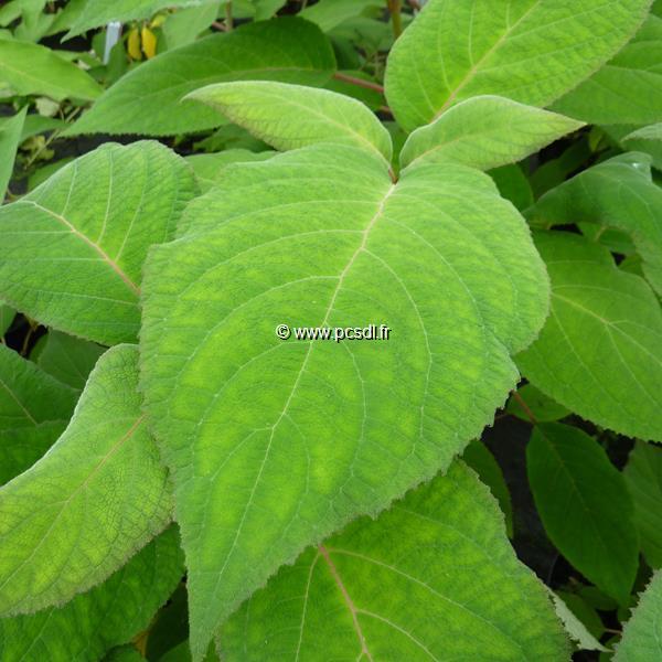 Hydrangea aspera \'Macrophylla\' C15L 80/100