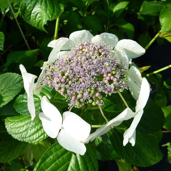 Hydrangea macrophylla \'Angel Light\' C4L 20/40