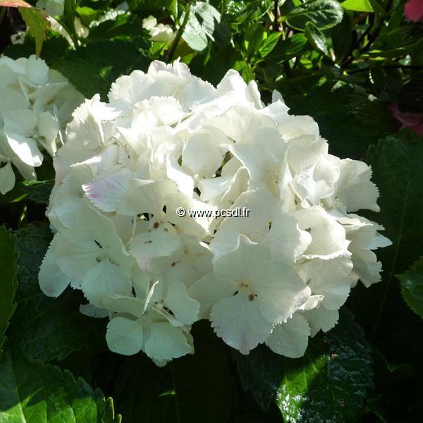 Hydrangea macrophylla \'Jumbo\' C4L 20/40