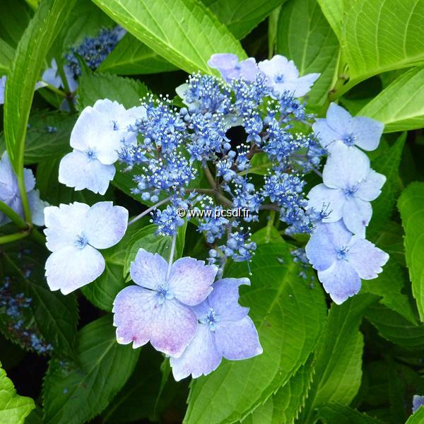 Hydrangea macrophylla \'Mariesii Lilacina\' 20/40 C4L