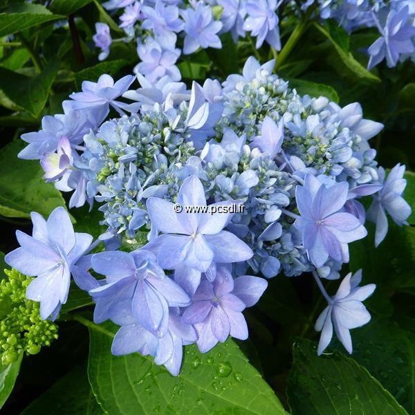 Hydrangea macrophylla (you&me) \'Romance\' ® 20/40 C4L
