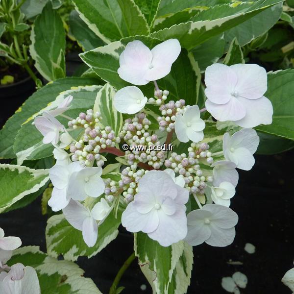 Hydrangea macrophylla \'Tricolor\' 20/40 C4L