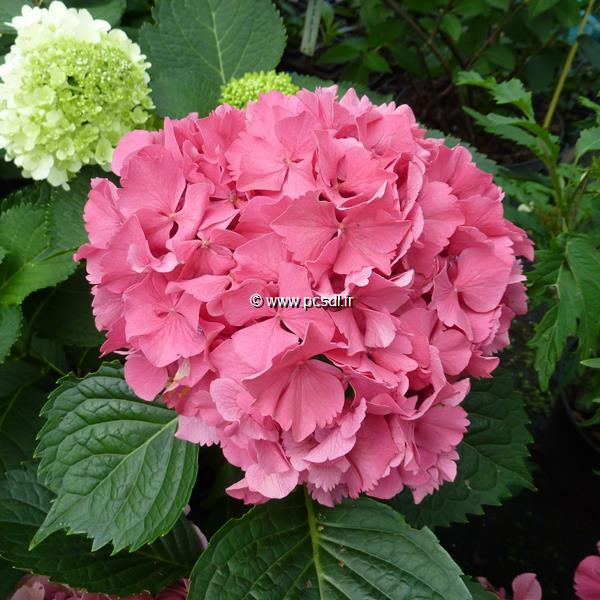 Hydrangea macrophylla \'Constellation\' C4L 20/40