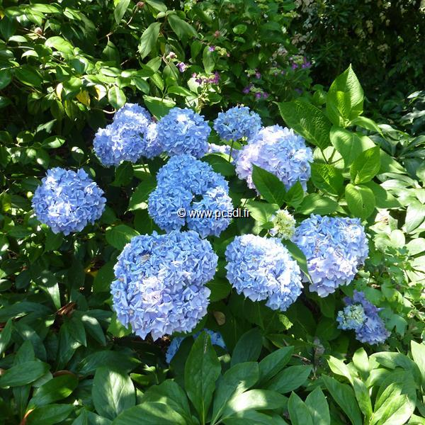 Hydrangea macrophylla \'Endless Summer\' ® 20/40 C4L
