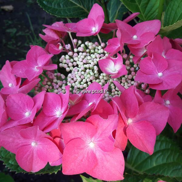 Hydrangea macrophylla \'Grasmücke\' C4L 20/40