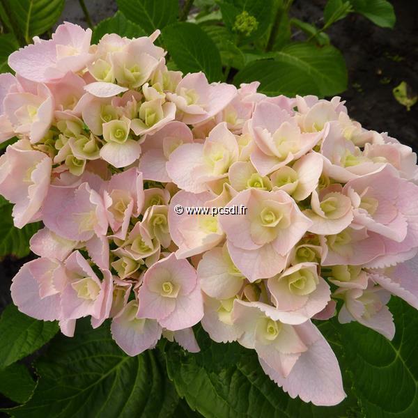 Hydrangea macrophylla \'Love\' ® 20/40 C4L