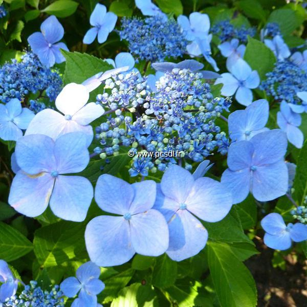Hydrangea macrophylla \'Mariesii Perfecta\' 20/40 C4L