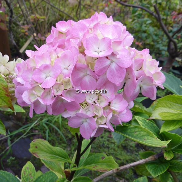 Hydrangea macrophylla \'Nigra\' C4L 20/40