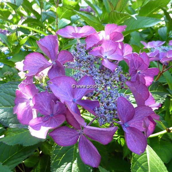 Hydrangea macrophylla \'Selina\' ® 20/40 C4L