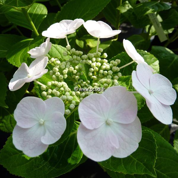 Hydrangea macrophylla (dutch lady) \'Soraya\' ® C4L 20/40
