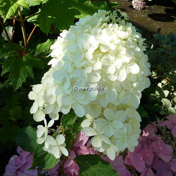 Hydrangea paniculata \'Little Lamb\' ® C4L 30/40