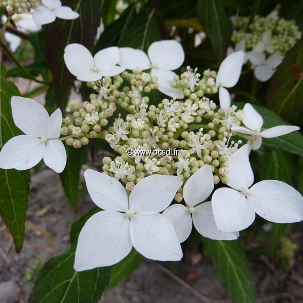 Hydrangea serrata \'Amagi Amacha\' C4L 20/40