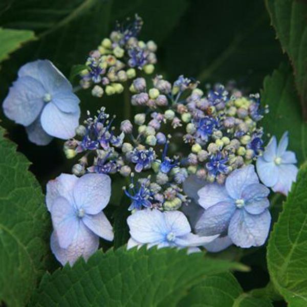 Hydrangea serrata \'Annie\'s Blue\' ® C4L 20/40