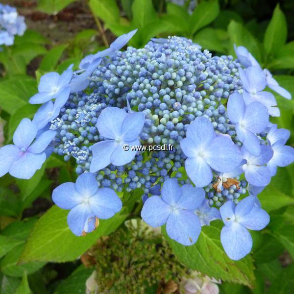 Hydrangea serrata \'Bleuet\' C4L 20/40