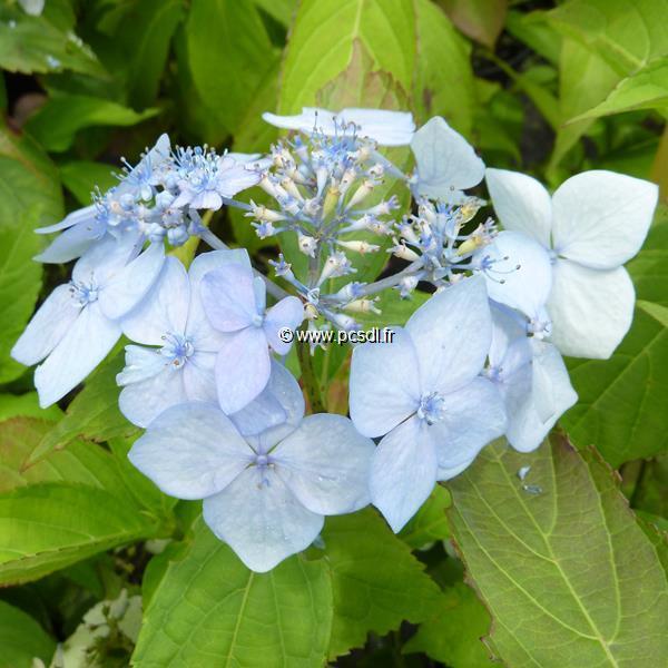 Hydrangea serrata \'Blue Deckle\' C4L 20/40
