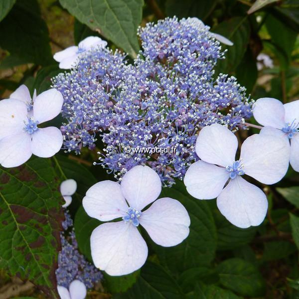 Hydrangea serrata \'Bluebird\' C4L 20/40