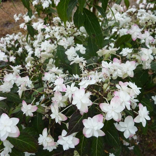 Hydrangea serrata \'Hakucho\' C4L 20/40
