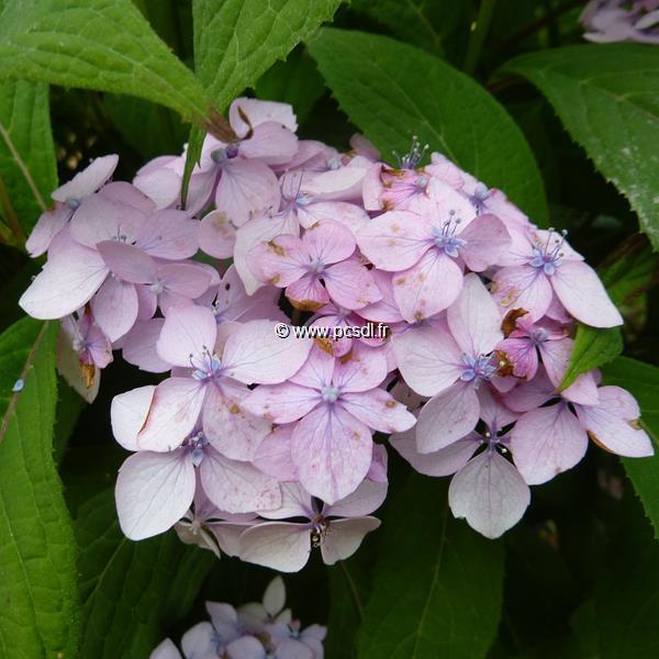 Hydrangea serrata \'Iyo Temari\' 20/40 C4L
